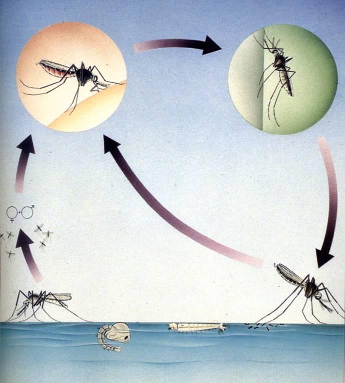 Vita da zanzara for Larve zanzare
