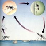 Ciclo vitale zanzare