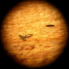 aedes eggs